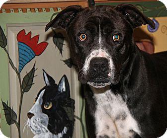 Labrador Retriever/Boxer Mix Dog for adoption in Marietta, Ohio - Ferris (Neutered)