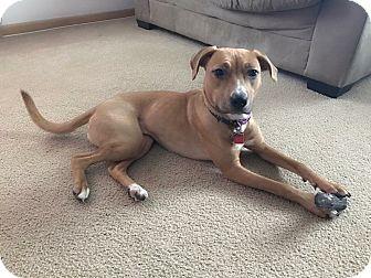 Shepherd (Unknown Type)/Boxer Mix Dog for adoption in West Allis, Wisconsin - Reya