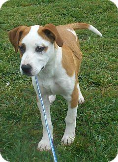 Boxer/Labrador Retriever Mix Puppy for adoption in Allentown, New Jersey - Bella Grace