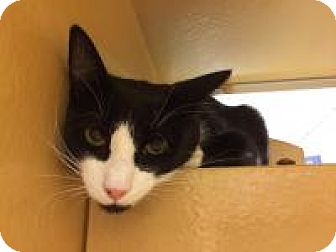 Domestic Shorthair Cat for adoption in Worcester, Massachusetts - Lou