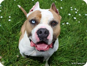 American Staffordshire Terrier Mix Dog for adoption in Fort Wayne, Indiana - Shorty Spice