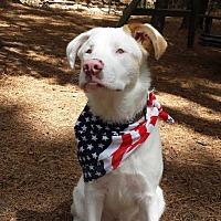 Adopt A Pet :: Augie:Happy boy!(GA) - Seymour, CT