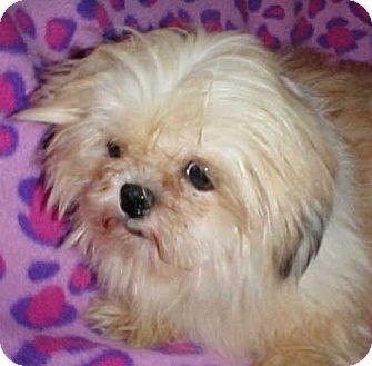 Shih Tzu Dog for adoption in Anderson, South Carolina - Buddy