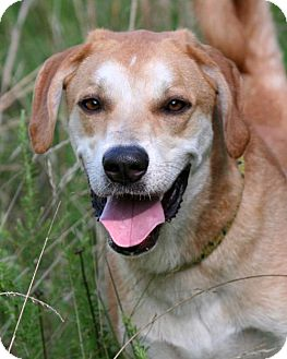 Saluki/Labrador Retriever Mix Dog for adoption in Rochester, New York - Gambit