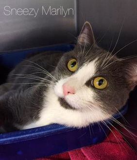Domestic Shorthair/Domestic Shorthair Mix Cat for adoption in Annapolis, Maryland - Sneezy Marilyn