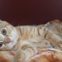 Adopt A Pet :: Calvin (& Hobbes) - Herndon, VA