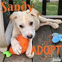 Adopt A Pet :: Sandy - Smithtown, NY