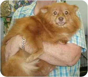Pomeranian Dog for adoption in Salem, New Hampshire - Audrey