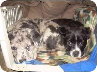 Catahoula Leopard Dog/Labrador Retriever Mix Puppy for adoption in Cairo, Georgia - Pups 1-4