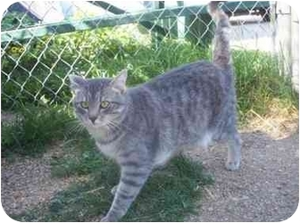 Domestic Shorthair Cat for adoption in Cold Lake, Alberta - Wesley