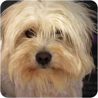 Lhasa Apso Mix Dog for adoption in Denver, Colorado - Sam