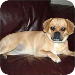 Pug/Beagle Mix Dog for adoption in Rigaud, Quebec - Phoebe