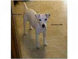 Jack Russell Terrier Mix Dog for adoption in Austin, Texas - Paloma