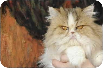 Persian Cat for adoption in Columbus, Ohio - Daisy Mae