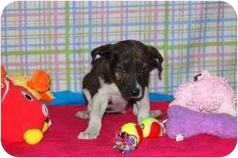 Australian Cattle Dog/Cattle Dog Mix Puppy for adoption in Broomfield, Colorado - Sharon Stone