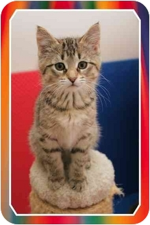 Domestic Shorthair Kitten for adoption in Sterling Heights, Michigan - Rotini - ADOPTED!