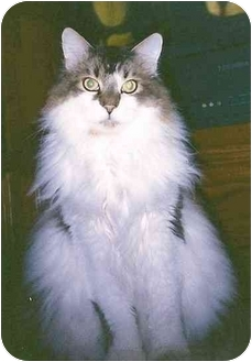 Maine Coon Cat for adoption in Edwards, Illinois - Slick