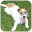 Photo 2 - Jack Russell Terrier Dog for adoption in Phoenix, Arizona - JAYDA