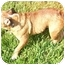 Photo 2 - English Bulldog Dog for adoption in Pearland, Texas - Marley