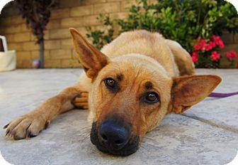 German Shepherd Dog/Labrador Retriever Mix Puppy for adoption in Los Angeles, California - Suzie von Stuttgart