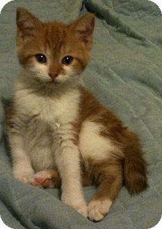 Domestic Shorthair Kitten for adoption in Sterling Hgts, Michigan - Petunia