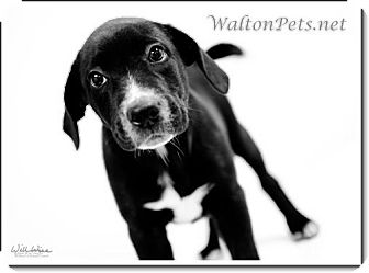 Labrador Retriever Mix Puppy for adoption in Largo, Florida - Bandit