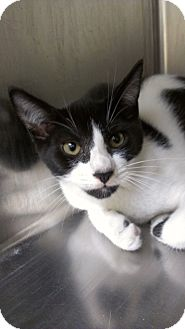 Domestic Shorthair Cat for adoption in Richboro, Pennsylvania - Matt LeBlanc