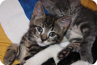 Domestic Shorthair Kitten for adoption in Little Falls, New Jersey - Eliot (LE)