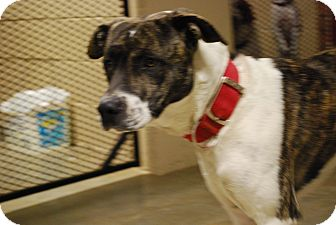 Great Dane/American Staffordshire Terrier Mix Dog for adoption in Waterbury, Connecticut - Zorro