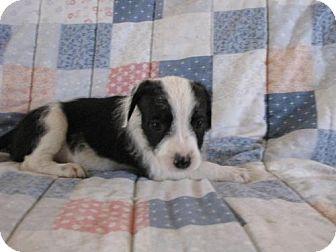 German Wirehaired Pointer/Boxer Mix Puppy for adoption in Roosevelt, Utah - Venus