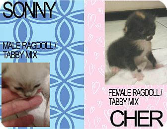 Siamese Kitten for adoption in Hollywood, Florida - SONNY