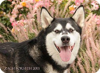 Alaskan Malamute Mix Dog for adoption in Portland, Oregon - Zephyra