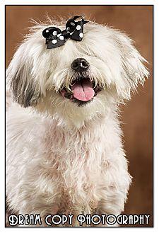 Lhasa Apso/Shih Tzu Mix Dog for adoption in Owensboro, Kentucky - Princess