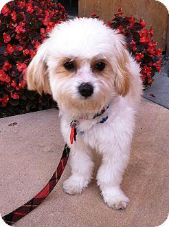 Maltese/Poodle (Miniature) Mix Dog for adoption in Thousand Oaks, California - Austin