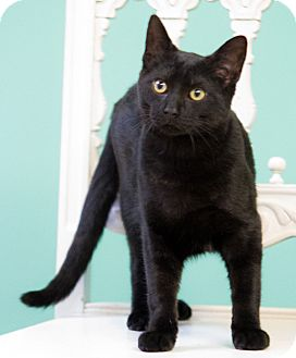 Bombay Cat for adoption in Chicago, Illinois - Checkers