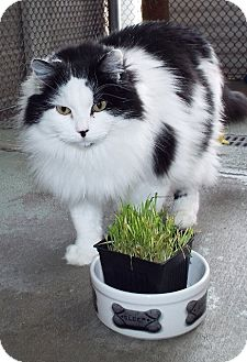 Domestic Longhair Cat for adoption in Grants Pass, Oregon - Oreo