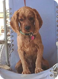 Cocker Spaniel Dog for adoption in Santa Barbara, California - Josh