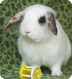 Lop-Eared Mix for adoption in Santa Barbara, California - Allistaire