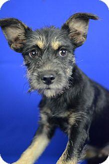 Miniature Schnauzer/Terrier (Unknown Type, Small) Mix Puppy for adoption in LAFAYETTE, Louisiana - TITO