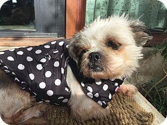 Shih Tzu Dog for adoption in Los Angeles, California - MACY