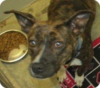 American Bulldog Mix Dog for adoption in Aiken, South Carolina - GINGERSNAP