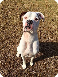 Boxer Dog for adoption in Hesperia, California - Duke