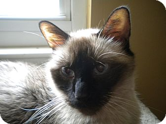 Siamese Cat for adoption in Bridgeton, Missouri - Go Daddy