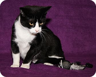 Domestic Shorthair Cat for adoption in Marietta, Ohio - Roxanne (Spayed)
