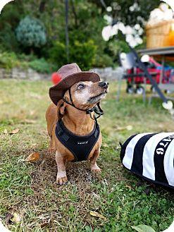Dachshund Dog for adoption in Astoria, New York - Franz