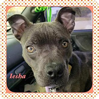 American Pit Bull Terrier Mix Puppy for adoption in Warren, Michigan - Iesha