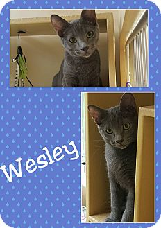 Manx Cat for adoption in North Richland Hills, Texas - Wesley