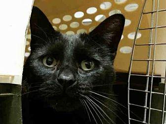 Domestic Mediumhair Cat for adoption in Rogers, Arkansas - BLAIRE