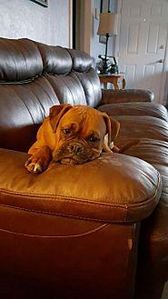 Boxer Dog for adoption in Visalia, California - Bridget