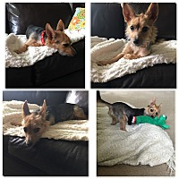Adopt A Pet :: Foxy - Pleasanton, CA
